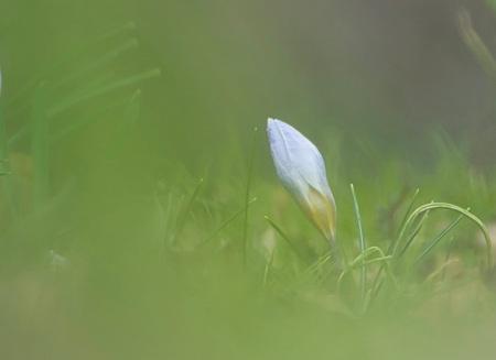 Ontluikend - Foto van het ontluikende voorjaar, deze krokus is nog dicht :)  Bedankt voor het bekijken en de reacties op mijn vorige uploads!  Groeten, Jeroen - foto door JerPet op 24-03-2021 - deze foto bevat: groen, macro, bloem, lente, natuur, krokus, dof
