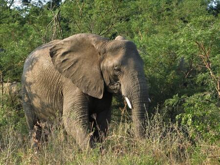 AFRICAANSE OLIFANT - in het  Zuid Africaanse wildpark kwamen we deze mooie olifant tegen, een prachtig dier...  - foto door jh- op 04-05-2021 - deze foto bevat: wildlife, dieren, olifant, fabriek, plant gemeenschap, werkend dier, olifanten en mammoeten, natuurlijk landschap, gras, afrikaanse olifant, boom, terrestrische dieren