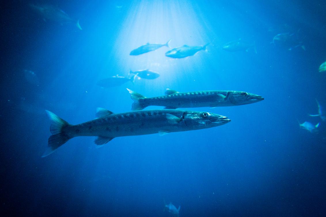 Barracuda's - Barracuda's met in de achtergrond tonijn - foto door ribo87 op 24-04-2016 - deze foto bevat: dierentuin, vis