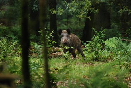 Zwijn in het Speulderbos