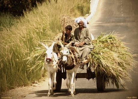 Transport suikerriet in Egypte