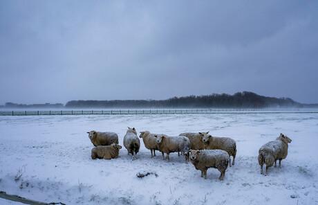 schapen Noordermaatweg