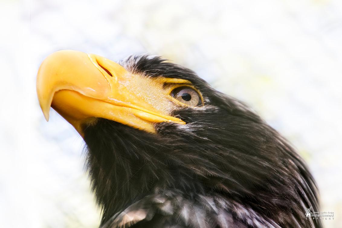 Avifauna - De Stellers zeearend in Avifauna. De achtergrond oogt wat vlekkerig door het gaas van de kooi dat nog enigzins zichtbaar is. Deze arend bouwt versch - foto door amsterdamned_zoom op 03-05-2019 - deze foto bevat: arend, holland, roofvogel, nederland, alphen, vogelshow, vogelpark, amsterdamned, alphen aan den rijn, Zuid Holland, Stellers zeearend