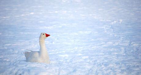 Gans in de sneeuw