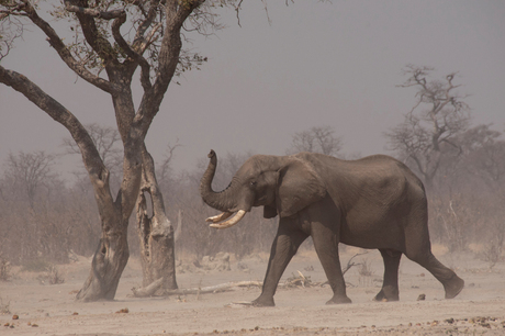 Elephant bull in sandstorm.jpg