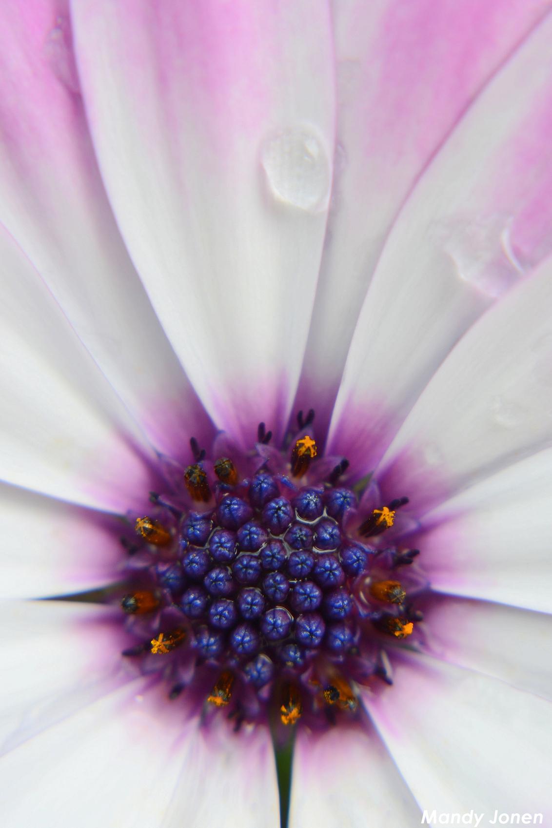 Flower Power - Deze foto is gemaakt met een macro filter. - foto door Mandiee op 25-06-2015 - deze foto bevat: roze, macro, bloem, druppel