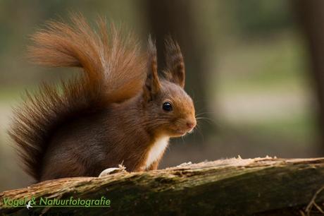 Eekhoorn, Veluwe