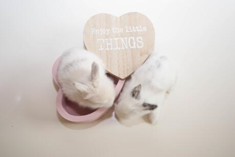 Babykonijntjes