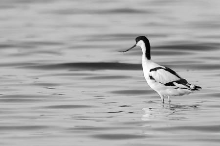 er een schepje bovenop doen - kluut [t.b.v. challenge zwart-wit] - foto door AnneliesV op 19-04-2021 - deze foto bevat: water, vogel, vloeistof, vloeistof, bek, veer, zeevogel, vleugel, meer, watervogels
