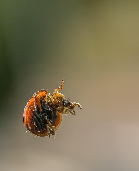 Even naar binnen zwaaien.............Lieveheersbeestje