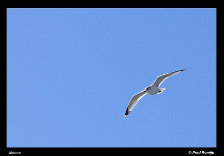 Meeuw in de lucht