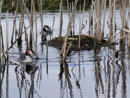 fuut - Fuut - foto door madeltijntje op 14-04-2021 - deze foto bevat: water, vogel, fabriek, gewervelde, bek, meer, lichaam van water, vegetatie, waterloop, watervogels