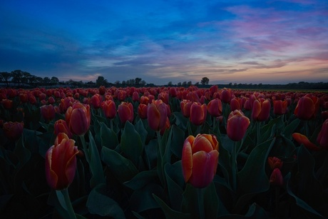 Golden and Fire tulips