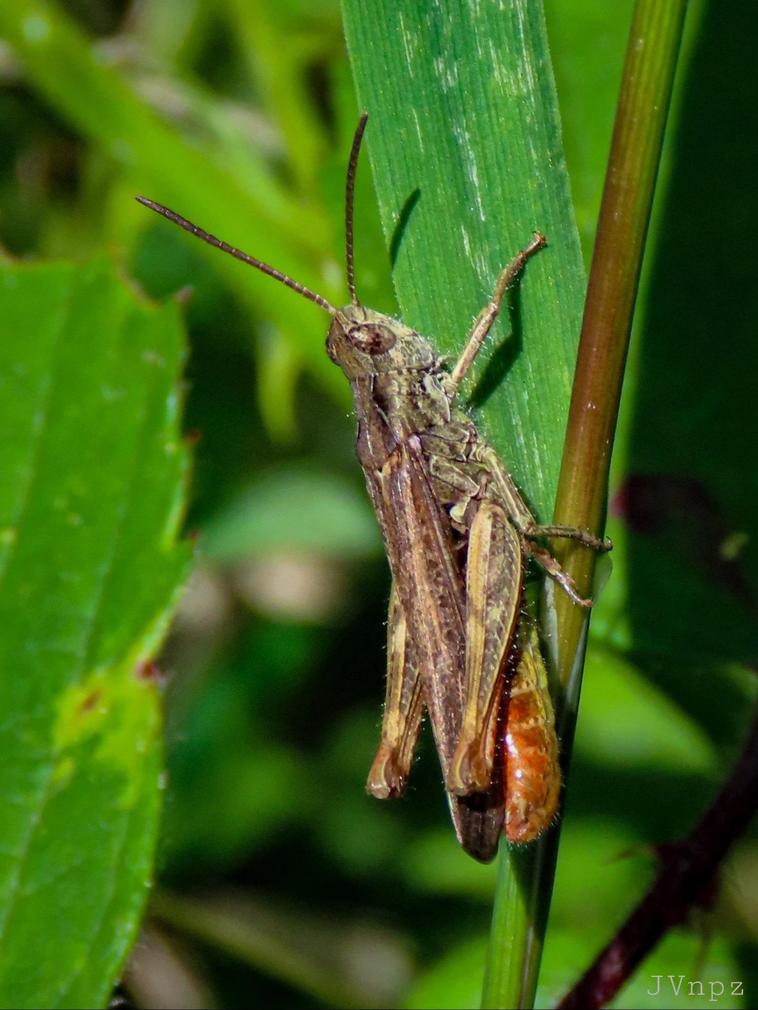 Bruine Sprinkhaan - De Bruine Sprinkhaan is een veldsprinkhaan, een veel voorkomende Sprinkhaan in Nederland. Dit is een goed gecamoufleerde Sprinkhaan. - foto door Vissernpz op 13-04-2021 - locatie: Assen, Nederland - deze foto bevat: veldsprinkhaan, groen, open veld, insect, insect, oog, geleedpotigen, fabriek, band gevleugelde sprinkhanen, sprinkhaan, sprinkhaan, plaag, cricket, terrestrische plant