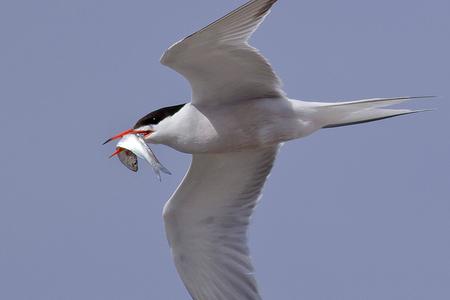Visdief - Bij de haringvlietsluizen vanochtend de visdiefjes gefotografeerd. - foto door Djer op 11-07-2012 - deze foto bevat: natuur, vogel, vis, sluis, vlucht, haringvliet, visdief, stellendam