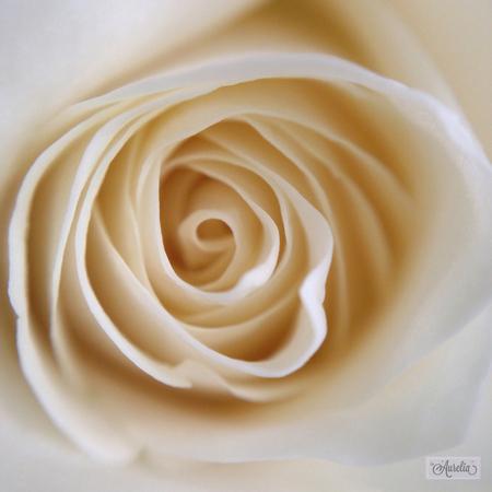 Sweet as a Rose - Hoera, mijn dochter is geslaagd!  :-) Wat een bijzonder, geweldig en speciaal moment om dit mee te mogen maken! Na een periode van keihard werken en  - foto door Aurelia Ebbe op 27-06-2014 - deze foto bevat: macro, wit, bloem, natuur, roos, stilleven, mobiel, macrolens, aurelia, zacht, iphone, Smartphone, iPhoneography, laaurelia, iphoneonly, mobilephotography, iphone2