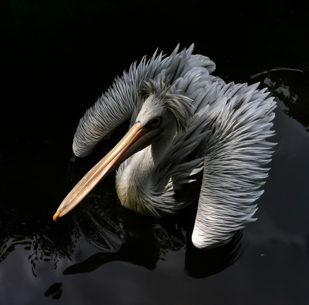 Big bird floating - Bathed in the dark water of a lake - foto door samards op 12-09-2016 - deze foto bevat: water, nature, flying, sun, bird, wildlife, lake, valley, rest, summer, floating, animal, feathers, wing, pelican, protection, season, scenic, swims