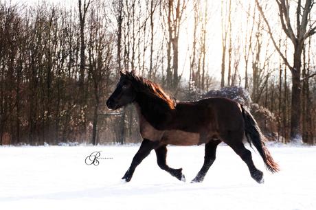 Zwarte pony in de sneeuw