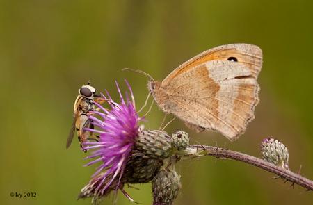 hello - Dit was een verrassing toen ik dit op de computer zag. Ik had de vlinder gefotografeerd maar zag thuis dat de zweefvlieg er beter op stond. Vond het  - foto door Ivy op 19-07-2012 - deze foto bevat: vlinder, zweefvlieg, ivy
