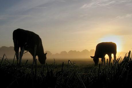 Koeien in de morgen