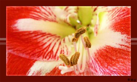 Amaryllis - Vast al vele malen op de foto gezet, dus deze kan er ook nog wel bij ;) - foto door daniel44 op 10-03-2008 - deze foto bevat: kleuren, rood, wit, bloem, hart, amaryllis, stampers, daniel44