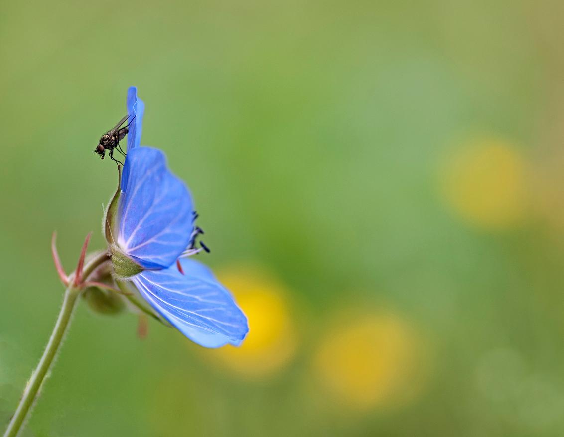 Bloemenweide - Vlieg op Beemdooievaarsbek ( als ik me niet vergis).  Bedankt voor de reacties op mijn vorige upload. - foto door birgitte61 op 27-06-2014 - deze foto bevat: macro, blauw, bloem, vlieg, tegenlicht