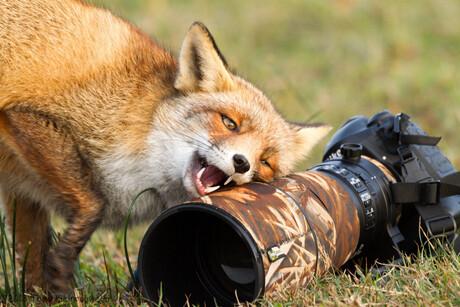 Fox loves camera