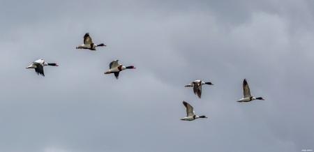 Bergeenden. - Bergeenden. - foto door ikjel op 14-04-2021 - deze foto bevat: vogel, lucht, gewervelde, wolk, eenden, ganzen en zwanen, bek, watervogels, migratie van dieren, vleugel, vogel migratie