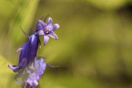 frele boshyacint