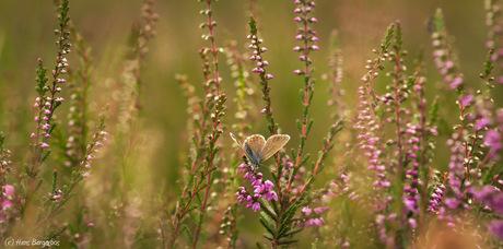 Heideblauwtje in haar natuurlijke omgeving