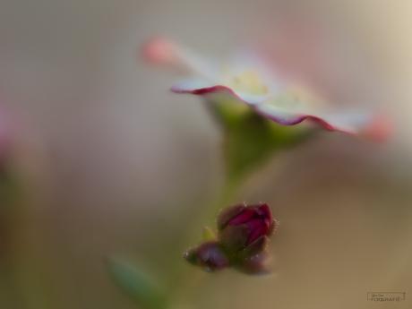 kleine bloempjes van de Saxifraga Arendsii..