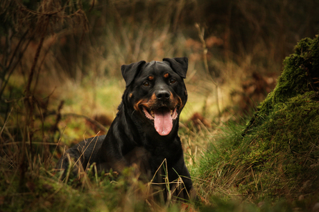 Rottweiler in het bos