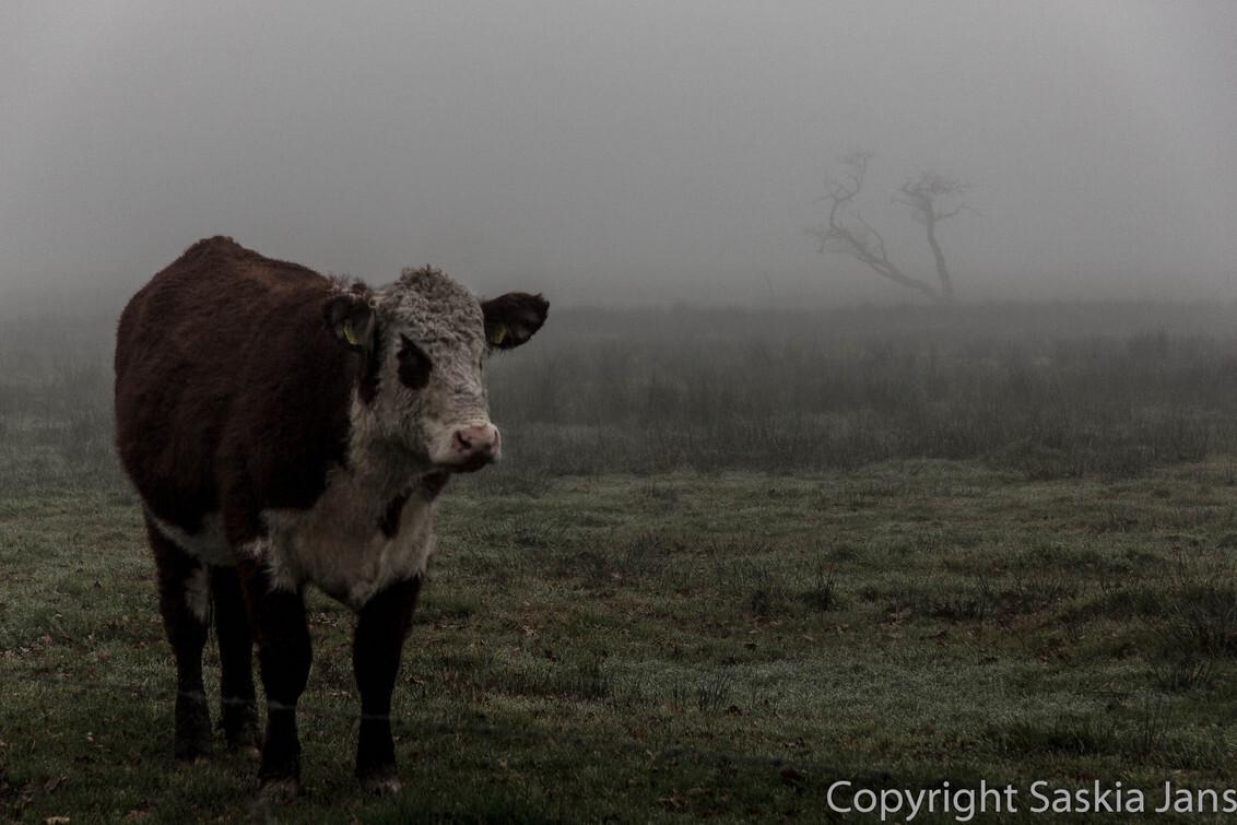 Dutch Wildlife - Even iets heel anders tussendoor... Groningse Blaarkoppen in mistig Drenthe - foto door Saskiajans op 11-02-2013 - deze foto bevat: boom, koeien, koe, mist, drenthe, nederland, blaarkop, Netherland, geelbroek