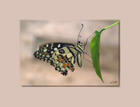 Vlinder(Papilio palamedes)