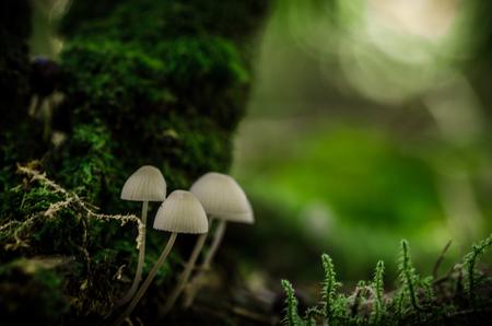 Vier Witte Hoedjes in het Bos - de scherpten is niet optimaal . maar het geheel maakt alles goed vind ik . het is een mooi herfst sfeer plaatje geworden - foto door sipmaurer op 15-10-2015 - deze foto bevat: groen, macro, wit, natuur, bruin, paddestoel, herfst, mos, zwart, bos, dof, bokeh