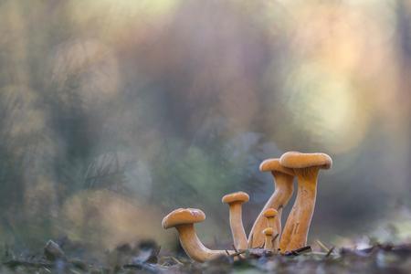 samen in het bos - Kort geleden, toen het nog mooi weer was, heb ik deze foto gemaakt met de camera op de grond en een klein takje met dennennaalden vrijwel tegen de le - foto door ronab op 16-11-2015 - deze foto bevat: kleur, macro, natuur, licht, oranje, zwam, herfst, paddenstoel, bos, tegenlicht, dof, bokeh