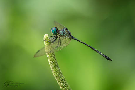 - Micrathyria spinifera -