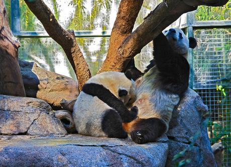 Reuze Panda met jong