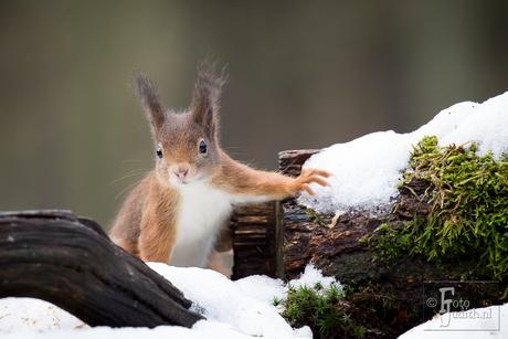 Eekhoorntje in de sneeuw