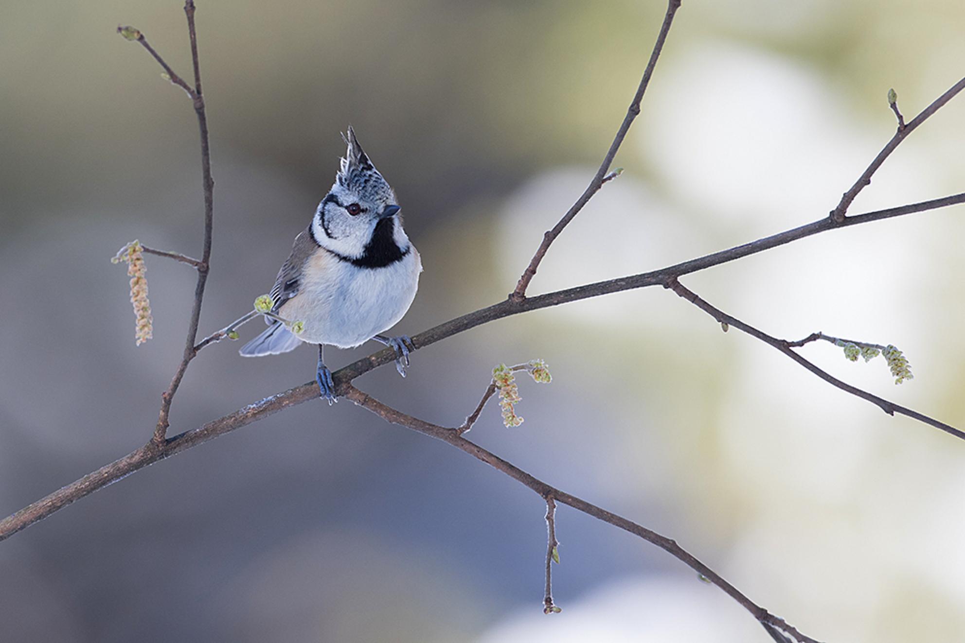 Kuifmees - Vorige week deze Kuifmees kunnen fotograferen met -12 graden, door de prachtige omstandigheden van sneeuw en licht, vergeet je de kou. Wat was het ge - foto door tom kruissink op 19-02-2021 - deze foto bevat: natuur, bruin, licht, sneeuw, winter, vogel, dier, koud, mees, kuifmees, vorst, wildlife, wilg, beige, bokeh, zangvogel, snotterbel - Deze foto mag gebruikt worden in een Zoom.nl publicatie