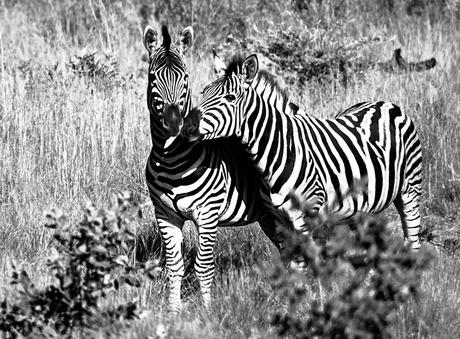 Zebra's in Zuid Afrika
