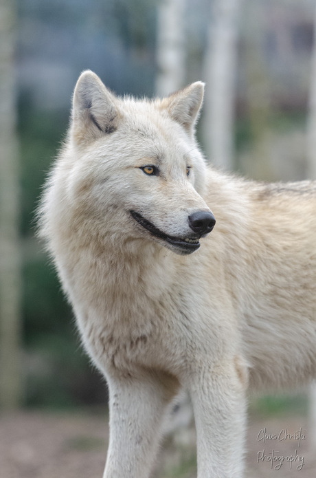 Canadese wolf