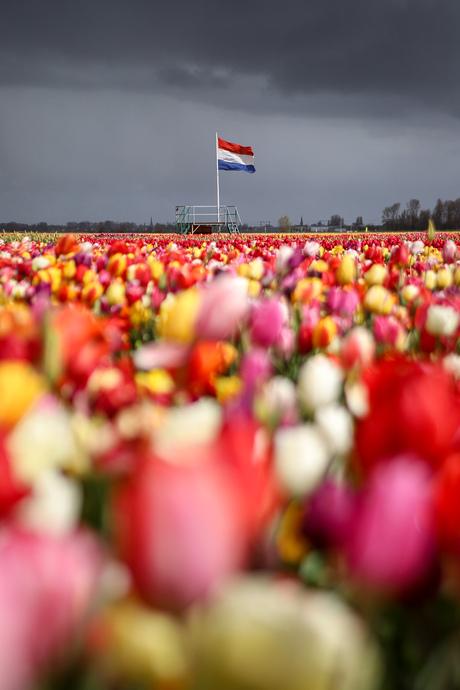 Freedom tulips.