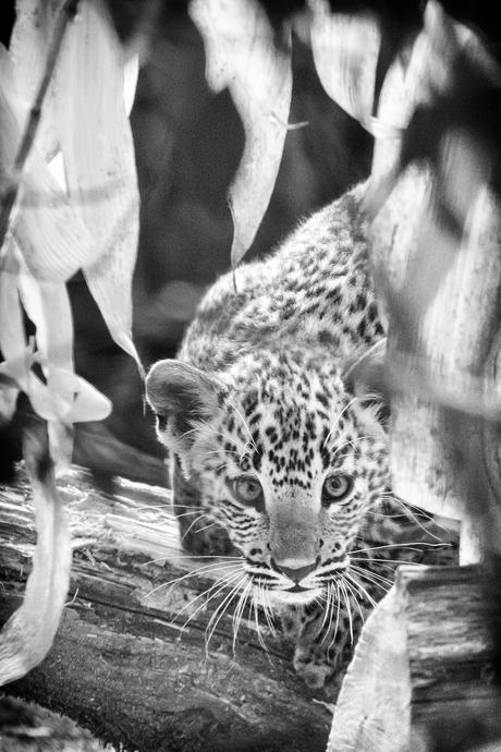 Sri Lanka panter - jong op onderzoek