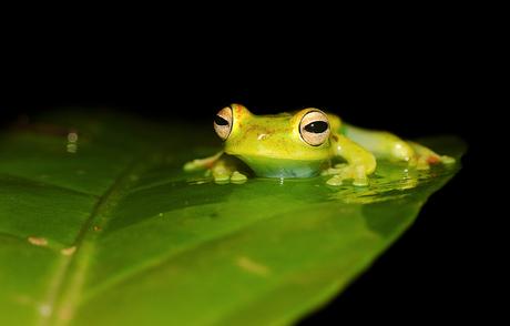 Palmer's treefrog