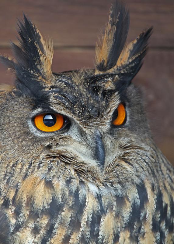 Oehoe - Foto geschoten bij een privé eigenaar. Gebruikte lens Canon 100-400mm. - foto door Jante op 10-12-2010 - deze foto bevat: uil