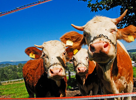 Zuid Duitse koeien