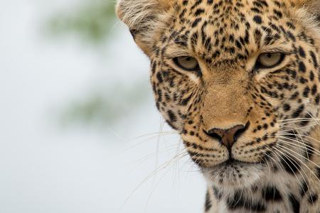 Hello Kitty - Luipaard in het Krugerpark SA - foto door info-2708 op 15-02-2016 - deze foto bevat: dieren, safari, kat, afrika, wildlife, luipaard, kruger, krugerpark, zuid afrika