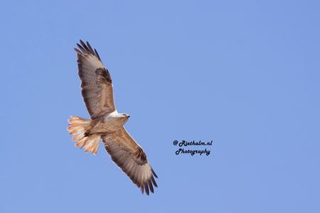 Arendbuizerd3 - Arendbuizerd in Marokko.   Eerst gezeten op een boomtop, vloog hij weg. Camera in de aanslag. Een heel mooie vogel. Groot - foto door fotograaf55 op 14-05-2015 - deze foto bevat: natuur, safari, vogel, buizerd, roofvogel, marokko, wildlife, arendbuizerd