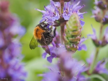 Bumblebee in Salvia nemorosa